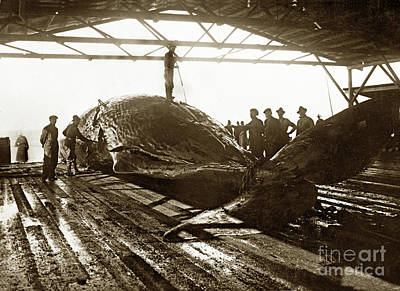 Photograph - Flensing A Sperm Whale In The Try Works Of The Moss Landing Whaling 1919 by California Views Mr Pat Hathaway Archives