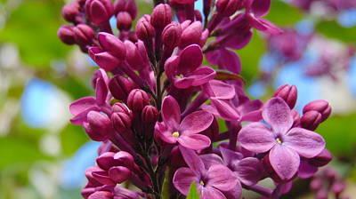 Fleur De Lilac Art Print