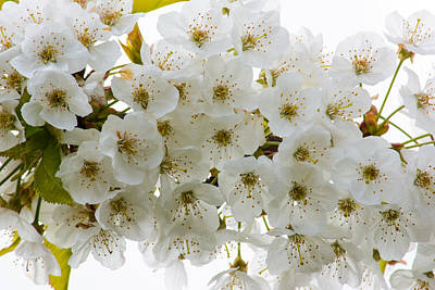 Photograph - Fleurs Blanches by Tikvah's Hope