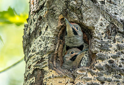 Photograph - Flicker Babies by Cheryl Baxter