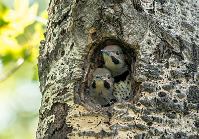 Photograph - Flicker Chicks by Cheryl Baxter