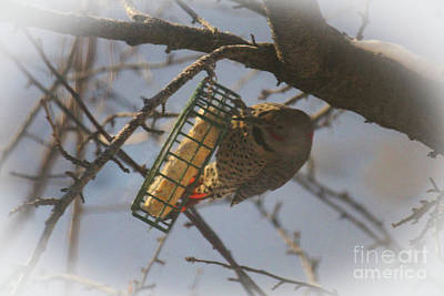Photograph - Flicker Eating Suet by Donna Munro