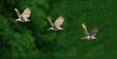 Photograph - Flicker Flight by Art Cole