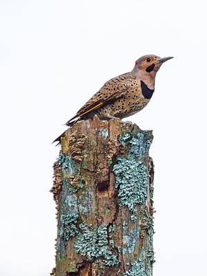 Photograph - Flicker Perched On Tree by Paula Ponath