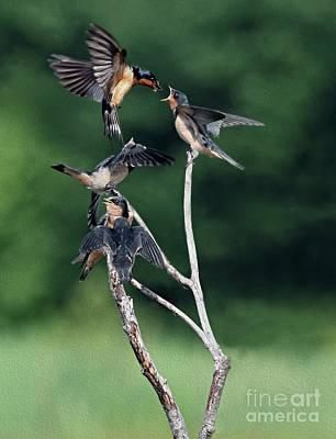 Photograph - Flight Feeding by Art Cole