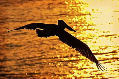 Photograph - Flight Into The Light, California Brown Pelican by Flying Z Photography by Zayne Diamond