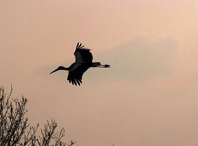 Photograph - Flight Of A Stork by Cliff Norton