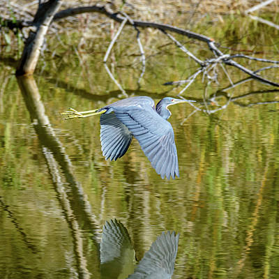 Photograph - Flight Of A Tri-colored Heron by Debra Martz