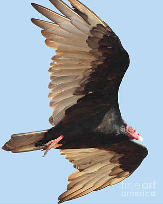 Photograph - Flight Of A Vulture by Wingsdomain Art and Photography