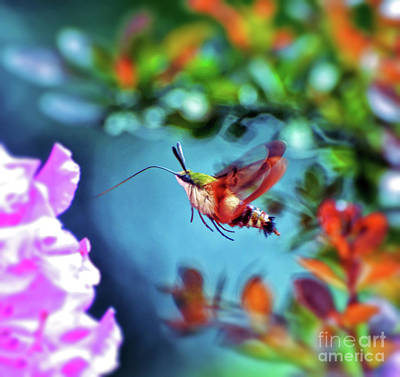 Photograph - Flight Of Mystery - Hummingbird Moth by Kerri Farley