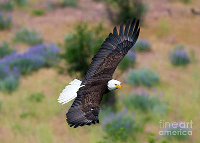 Birds Rights Managed Images - Flight of Spring Royalty-Free Image by Mike Dawson