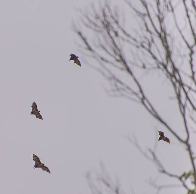 Photograph - Flight Of The Bats by Alex Lapidus