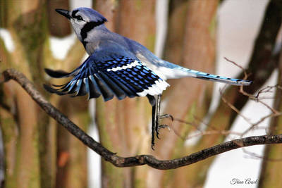 Photograph - Flight Of The Blue Jay by Trina Ansel