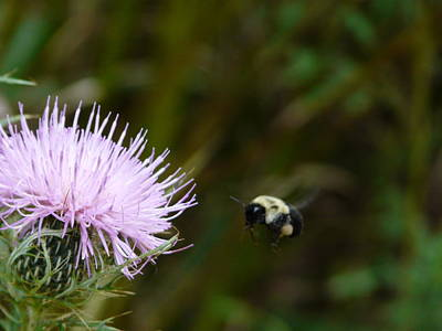Flight Of The Bumblebee Print by Morning Dew