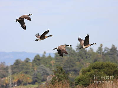 Photograph - Flight Of The Canada Geese by Wingsdomain Art and Photography