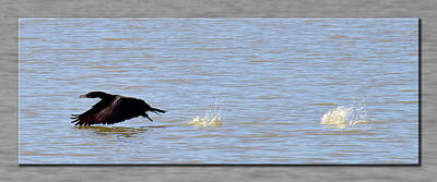 Photograph - Flight Of The Cormorant by Robert Clayton