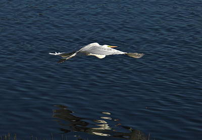 Photograph - Flight Of The Egret by Denise Mazzocco