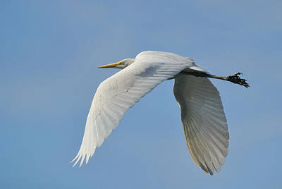 Photograph - Flight Of The Egret by Fraida Gutovich