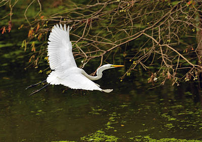 Photograph - Flight Of The Egret by Jamie Pattison