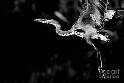 Bif Photograph - Flight Of The Great Blue Heron  - Black And White by Wingsdomain Art and Photography