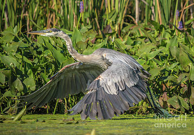 Photograph - Flight Of The Great Blue Heron by Cheryl Baxter