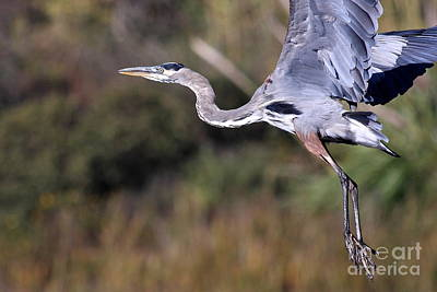 Photograph - Flight Of The Great Blue Heron by Wingsdomain Art and Photography