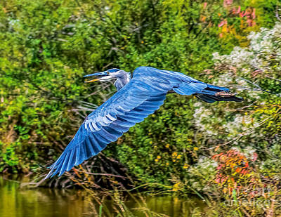 Photograph - Flight Of The Heron by Nick Zelinsky