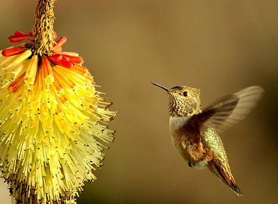 Flight Of The Hummer Art Print by Mike  Dawson