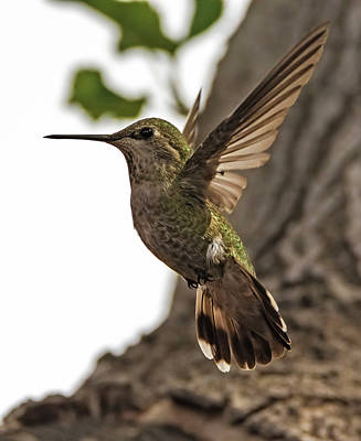 Photograph - Flight Of The Hummingbird by Loree Johnson