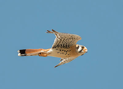 Photograph - Flight Of The Kestrel by Loree Johnson