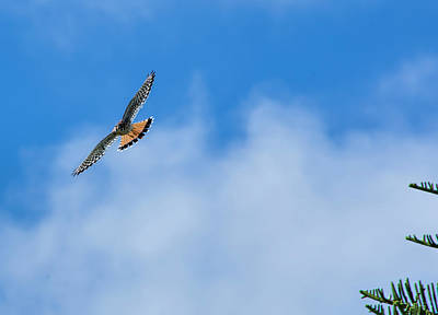 Photograph - Flight Of The Male Kestrel by William Tasker