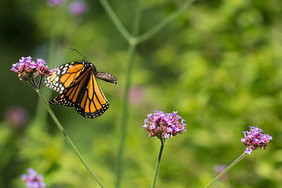 Photograph - Flight Of The Monarch 2 by Brian Hale