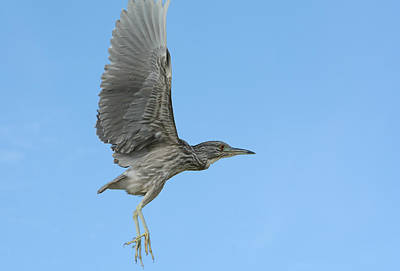 Photograph - Flight Of The Night Heron by Fraida Gutovich