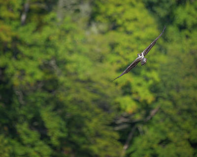 Photograph - Flight Of The Osprey by Bill Wakeley