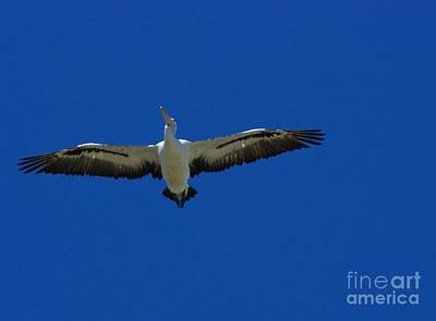 Photograph - Flight Of The Pelican by Blair Stuart