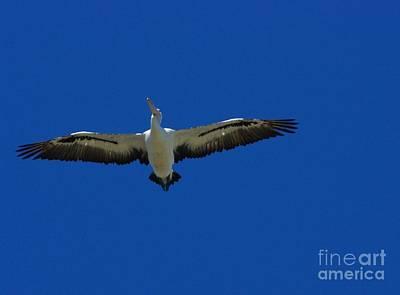Flight Of The Pelican Art Print by Blair Stuart
