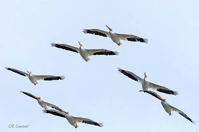 Photograph - Flight Of The Pelicans by CR Courson