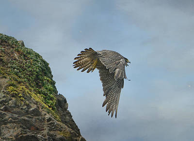 Photograph - Flight Of The Peregrine by Fraida Gutovich