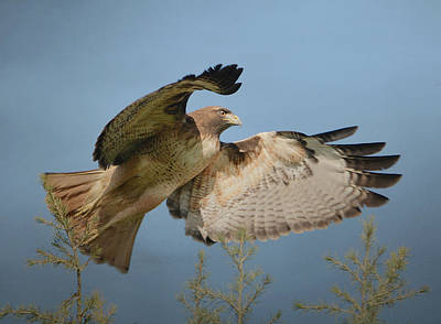 Photograph - Flight Of The Raptor by Fraida Gutovich