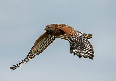 Photograph - Flight Of The Red-shouldered Hawk by Loree Johnson