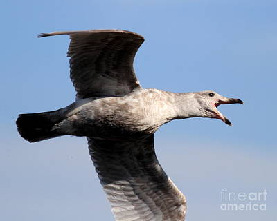 Bif Photograph - Flight Of The Screaming Gull . 7d4932 by Wingsdomain Art and Photography
