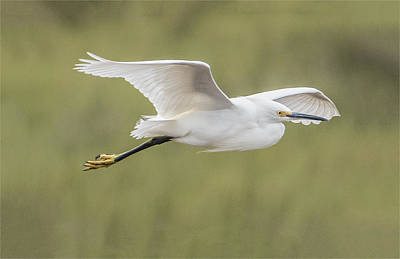 Photograph - Flight Of The Snowy Egret by William Bitman