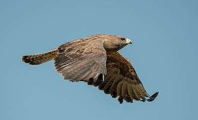 Photograph - Flight Of The Swainson's Hawk by Loree Johnson