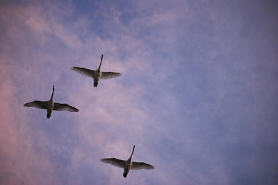 Photograph - Flight Of The Swans  by Michelle  BarlondSmith