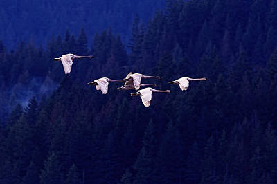 Swans Photograph - Flight Of The Swans by Sharon Talson