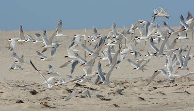 Photograph - Flight Of The Terns by Fraida Gutovich