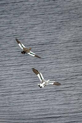 Photograph - Flight Of The Upland Geese by John Haldane