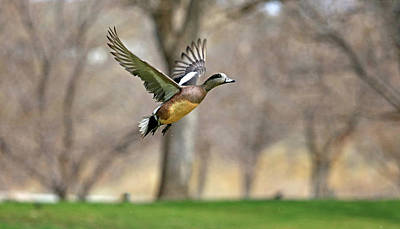 Photograph - Flight Of The Wigeon by Donna Kennedy