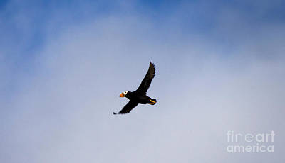 Photograph - Flight Of Tufted Puffin by Louise Magno