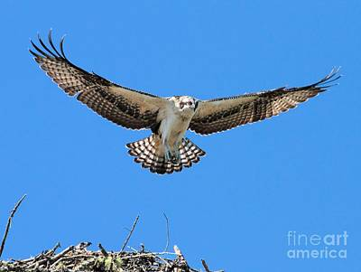 Art Print featuring the photograph Flight Practice Over The Nest by Debbie Stahre